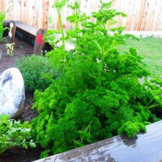Herbs Gone Wild!